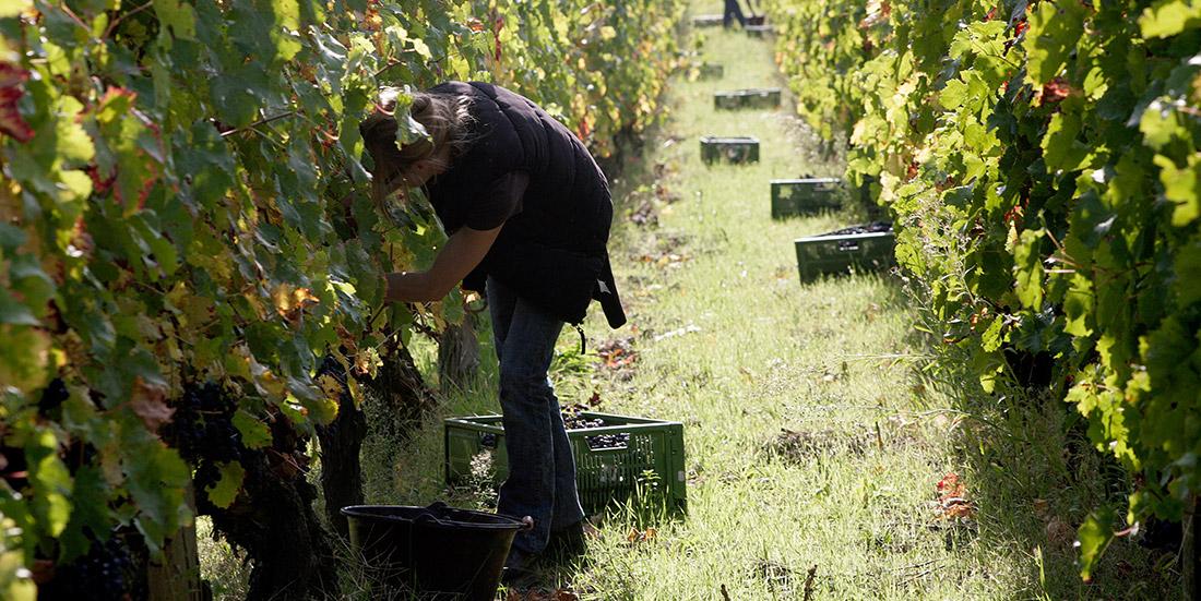 Taille de la vigne à Saumur